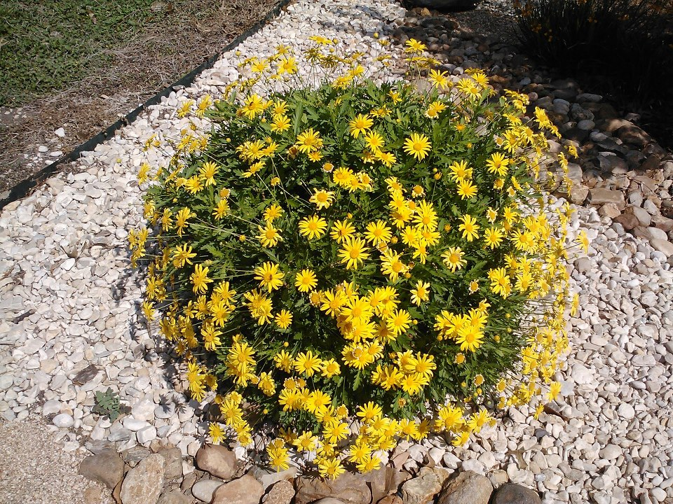 Plant information built to bloom landscape built to bloom bush daisy picture this flowering perennial produces yellow mightylinksfo Images
