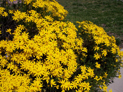 Plant information built to bloom landscape built to bloom small evergreen shrub that grows roughly 2 by 2 this sun loving plant is covered in small yellow flowers requires little maintenance and little water mightylinksfo